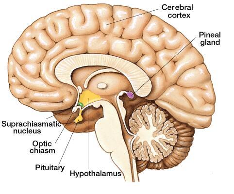brain pineal gland